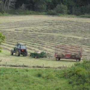 haying
