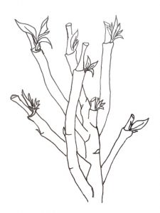 Drawing of Poinsettia with new shoots