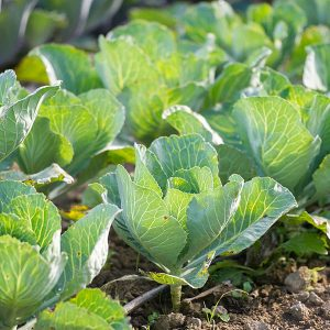 row of cabbages in garden