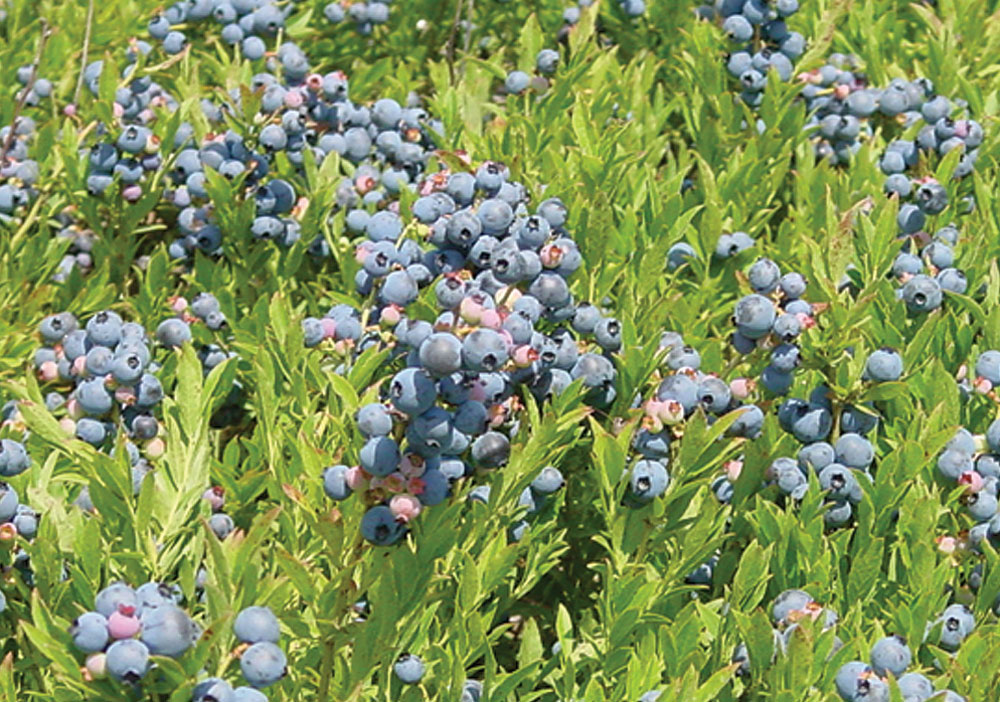 Maine wild blueberry field