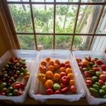 tomatoes ripening in bins on a windowsill