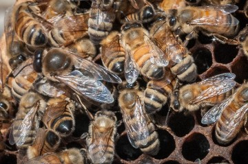 A larger queen bee with other bees in hive
