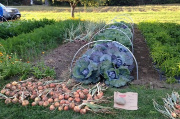 vegetable garden with onions and cabbages