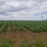 Potato field at University of Maine Presque Isle