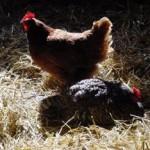 backyard-poultry-donna-coffin-300x234