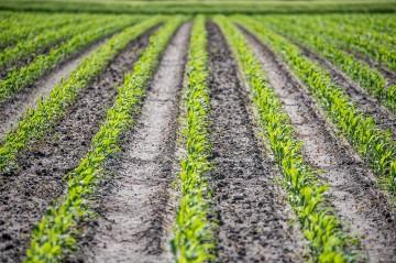 corn being grown in a field