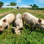 Three pigs on grass