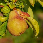 two pears on a tree