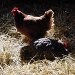 Two brown chickens