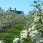 Flowering apple trees at Highmoor Farm