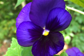 Close up of a purple pansy with other foliage and a second pansy in the background