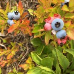 Wild Blueberry Plants