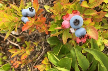 Wild Blueberry Plants