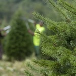Fir trees with 2 people tipping in background