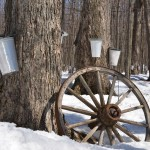 maple trees with buckets attached