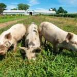 remsberg-pigs