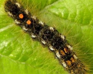 A browntail moth caterpillar crawling across a green leaf