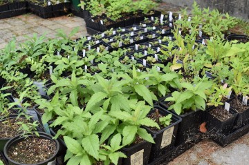 Image of young plants in starter pots