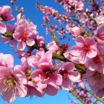 Peach blossoms in the spring
