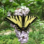 An eastern tiger swallowtail butterfly on purple lilac inflorescence