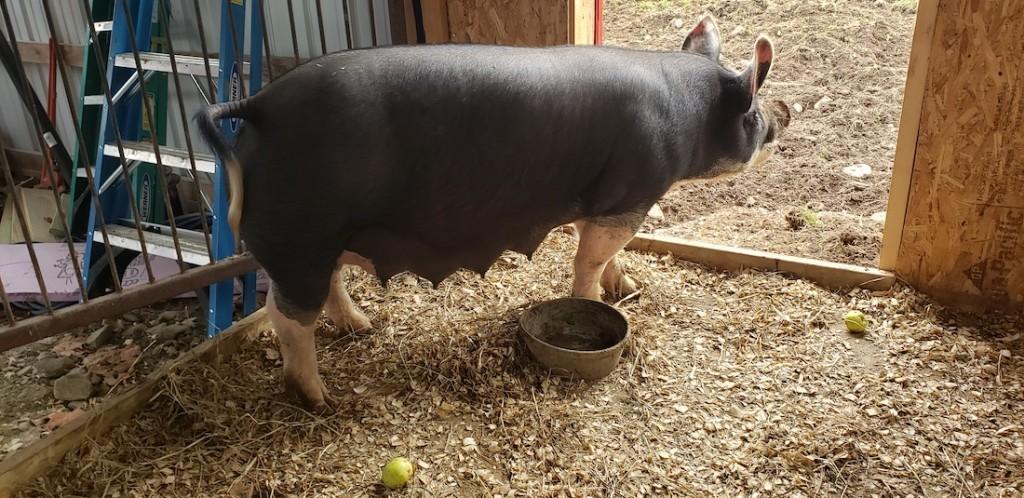 image of swine in barn