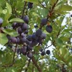 Image of plums on a tree