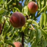 Image of peaches on a peach tree