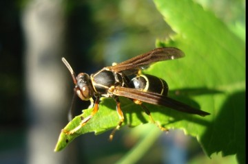 A paper wasp on a leaf