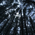 Canopy of a pine stand viewed from below