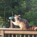 racoon at bird feeder