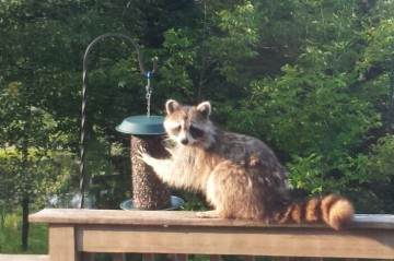 racoon at bird feeder