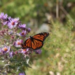 Monarch Butterfly resting on flowers