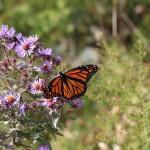 Monarch Butterfly resting on flowers