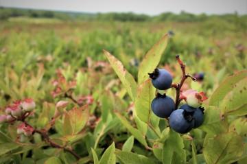 Blueberries in field
