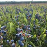Blueberries ready for harvest