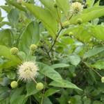 White buttonbush flower