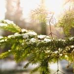 pinetree-1149932_1920 (2)