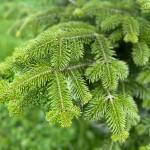image of Balsam fir branch