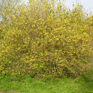 Forsythia bush in full bloom