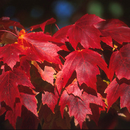 leaves of Red Maple tree