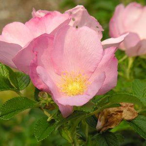 rugose rose