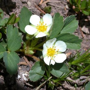 wild strawberry plant in bloom