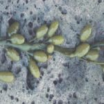 rockweed flowers: smooth inflated receptacles