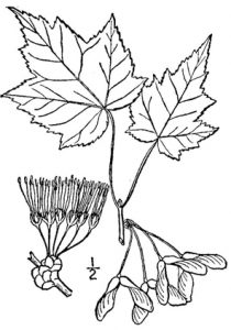 illustration of red maple leaves, flowers and seeds