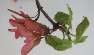 red maple samaras