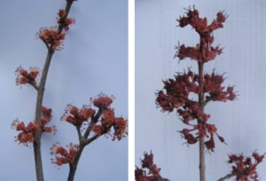 Male (left) and female (right) Red maple flowers.