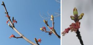 Red maple leaf buds forming after flowering
