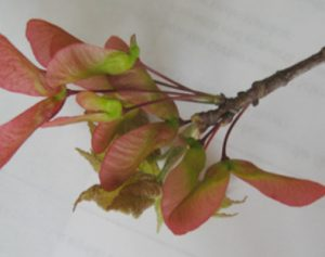 Red maple samaras and newly opened leaves