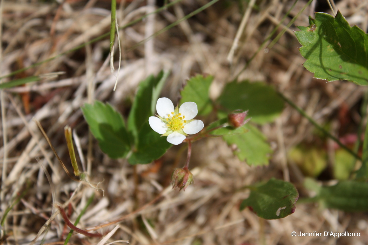 Wild Strawberry Fact Sheet Signs Of The Seasons A New