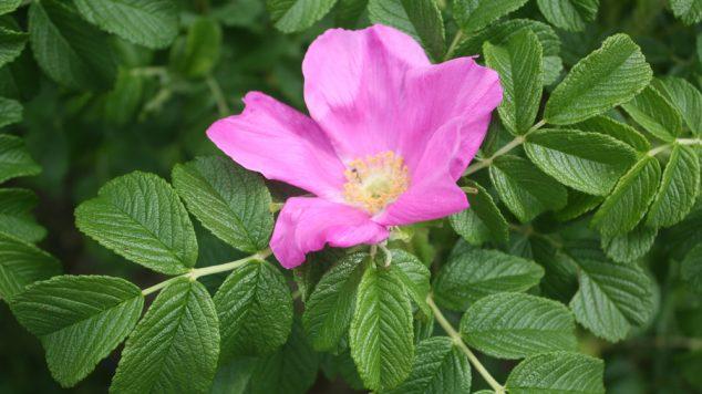 Rosa rugosa flower
